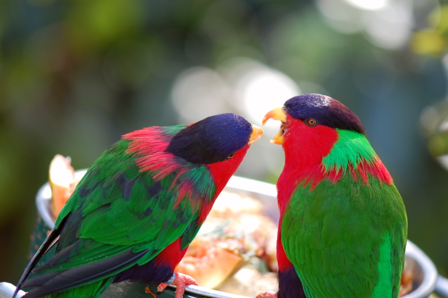"redit: <a href=""http://www.flickr.com/photos/10710442@N08/3406700453"">Lovebirds [Not; They're Lories]</a> via <a href=""http://photopin.com"">photopin</a> <a href=""https://creativecommons.org/licenses/by/2.0/"">(license)</a>"